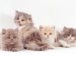 Four Cute Persian Kittens