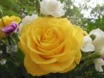 Yellow White Beauties