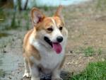 welsh Corgi (puppy)