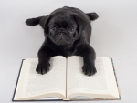 pug reading