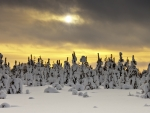 fluffy snow on evergreen forest