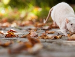 Rat foliage