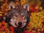 Wolf at Fall