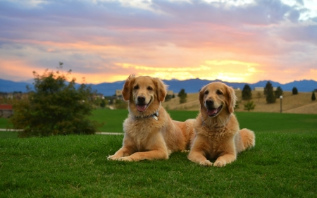 Two Retriver - Animal, sunset, puppy, dog