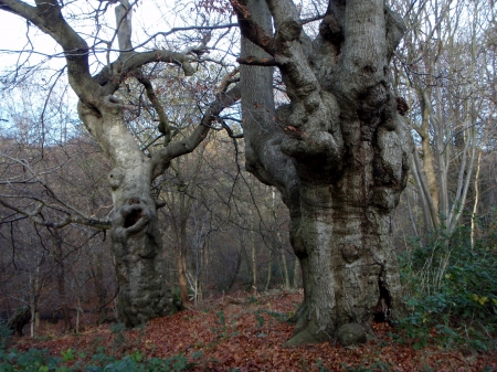 Burnham Pollards, - Burnham, Old Trees, Beeches, Pollard