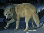 'Snow wolf'......