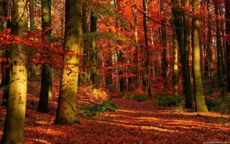 Beautiful red fall leaves - fall leaves, forest, nature, beautiful