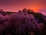 Amazing purple with sunset