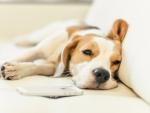 ♥ Beagle ♥
