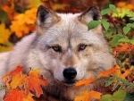 Autumn Wolves