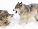 wolves fighting in the snow