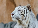 White tiger looking in the distance
