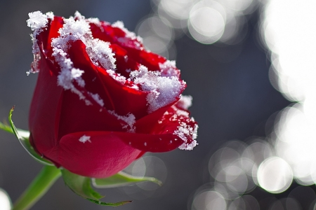 Winter roses flowers nature background wallpapers on - Rose in snow wallpaper ...