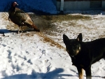 Turkey and A Dog