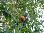 Parrot feeding in tree