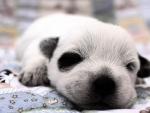 A few days old puppy