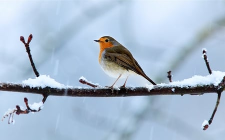 Robin in winter - twilight, cool, robin, hot, oiseau, animal, winged, animals, adorable, white, picture, pretty, stunning, red, beautiful, feather, freedom, amazing, gorgeous, rouge gorge, bird, feathers, wing, lovely, cold, snow, blue, awesome, wings, branch, cute, other, winter, birds, nice, light, romantic