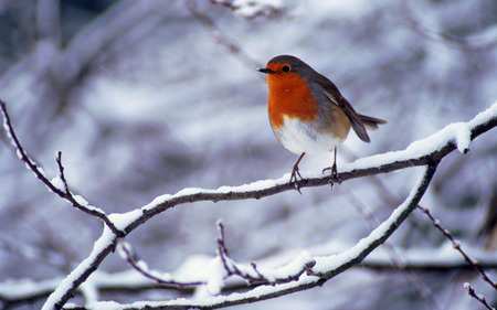 Robin in a cold winter - pretty, stunning, robin, adorable, branch, wing, nice, feather, wings, lovely, birds, winter, cute, cool, snow, awesome, white, red, rouge gorge, beautiful, twilight, winged, cold, picture, animal, hot, light, other, blue, feathers, gorgeous, animals, amazing, romantic, freedom, bird, oiseau