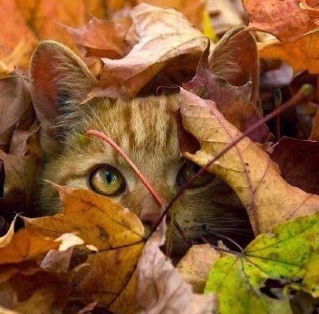 hiding in a fall leaves - fall leaves, hiding, cat, animals