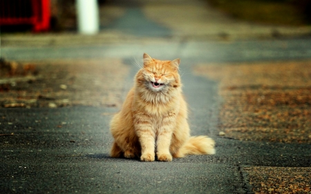 Funny Cat - laughing, funny, cat, happy, animal