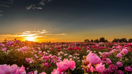 Sunset Over The  Peonies Field - flowers, nature, sunset, clouds, peonies