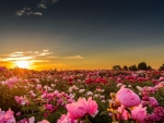 Sunset Over The  Peonies Field