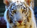 Wonderful Tiger