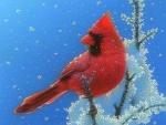 Cardinal on Top