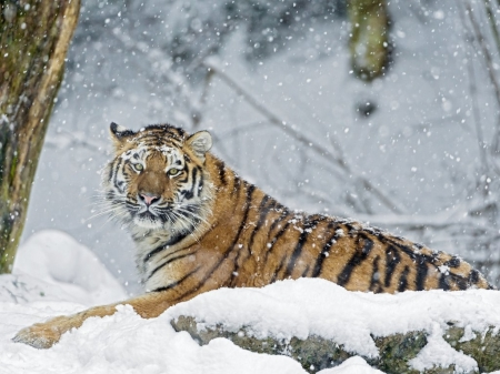 Tiger in the snow - snowflake, big cat, snow, Tiger in the snow, tiger, animals