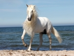 White Andalusian