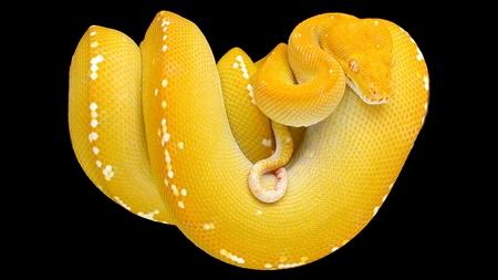 Yellow Tree Snake - snake, boa, close up, yellow, reptile, animal, beautiful, python, black, tree snake