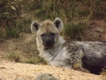 Spotted Hyena Just Woken Up From Sleep