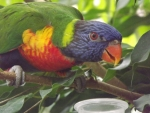 Beautiful Rainbow Lorikeet