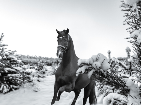 Comments On Horse In The Snow Horses Wallpaper Id 2061688