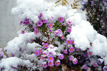 Winter Flowers - flower, beautiful, snow, winter