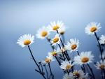 Daisy Blur