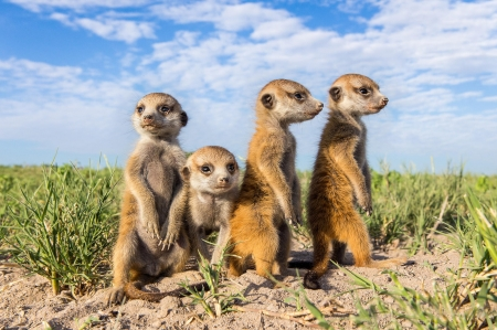 Meerkat - meerkat, amazing, beautiful, animals