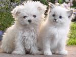 White Puppy and Kitten