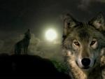 Gray Wolf Full Moon