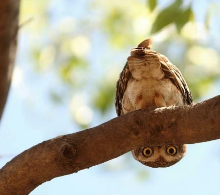 Upside Down Owl Funny Bird Animal