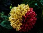 Twin Color Dahlia