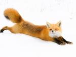 Relaxing foxy
