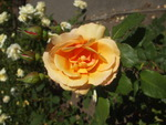 LOVELY ORANGE ROSE