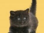 cute little black kitten