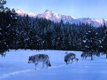 Time for the Pack