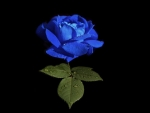 Always Beautiful Blue Rose