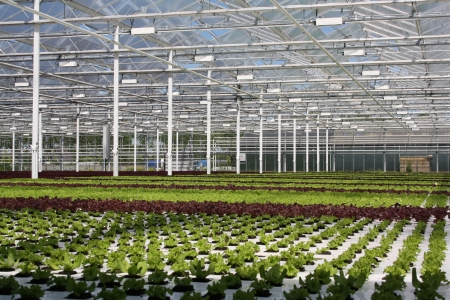 greenhouse of greens - green, plant, plants, greenhouse, nature
