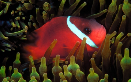 red anemone fish - fish, red, anemone, plant
