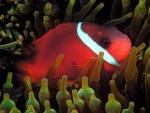 red anemone fish