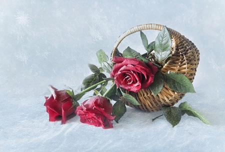 Roses in the snow winter nature background wallpapers - Rose in snow wallpaper ...